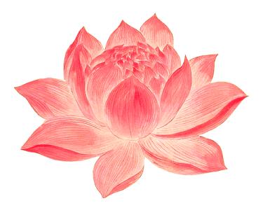 花卉花朵荷花蓮花插畫素材