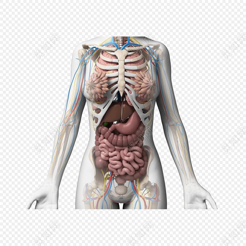 医学专业人体结构内脏素材