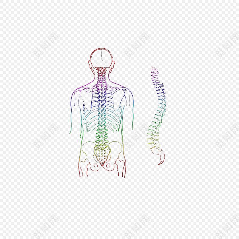 医学专业人体结构脊柱素材