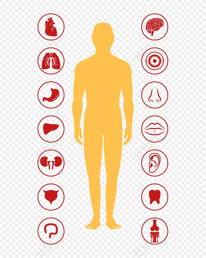 医学人体内脏结构素材