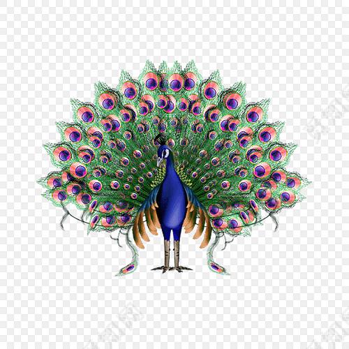 孔雀开屏手绘插画免抠素材