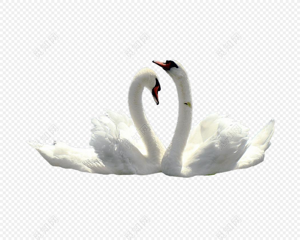 白天鹅手绘素材