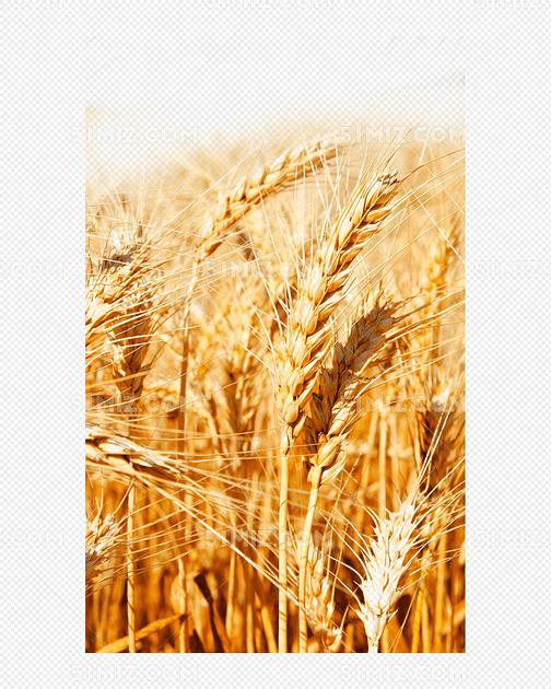 金色小麦稻田图片免费下载_png素材_觅知网