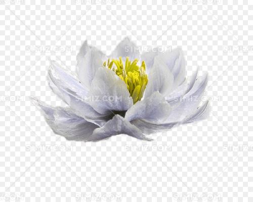白色雪莲花图片素材免费下载_觅知网