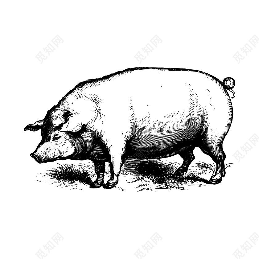黑白猪年手绘素描