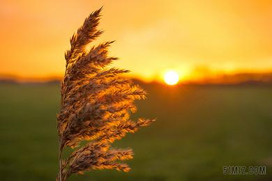 綠色麥穗農作物植物背景圖片