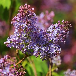 丁香 花卉 春天 特寫 紫色 圖片 鮮花 性質 植物群