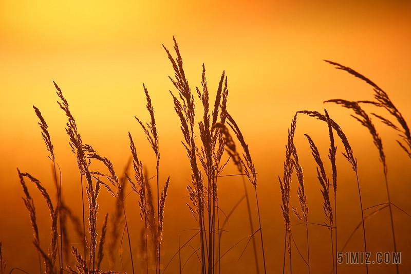摄影唯美夕阳下的芦苇背景图片