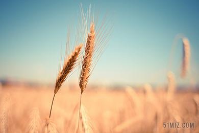 唯美小清新稻田里的小麥背景圖片