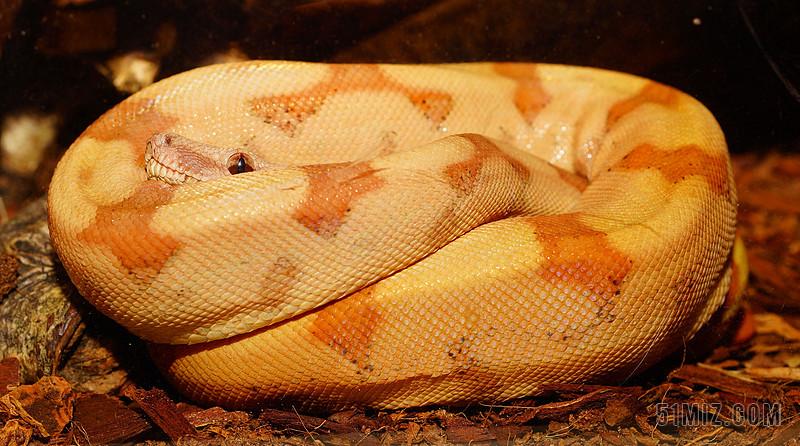 蛇 大蟒蛇大将军 年轻的动物 爬行动物 boa 鼠标猎人