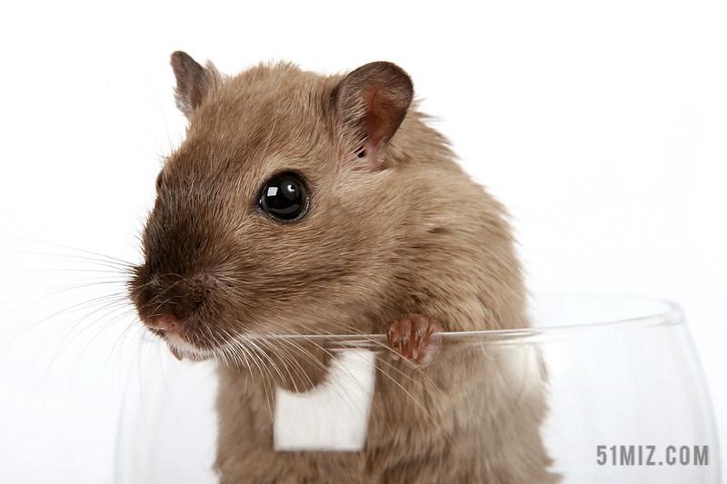 棕色小型哺乳动物鼠类背景图片