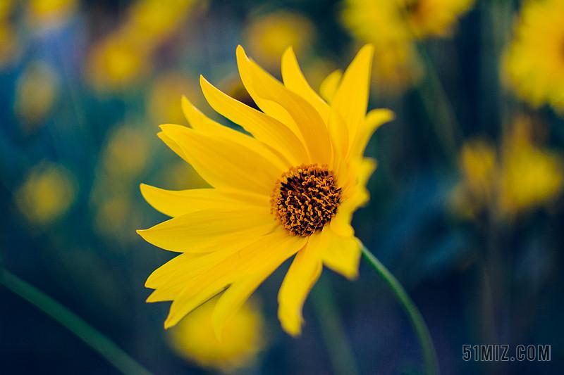 黄色自然风景野外鲜花近景背景图片