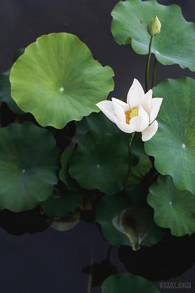绿色自然风景自然植物荷花背景图片