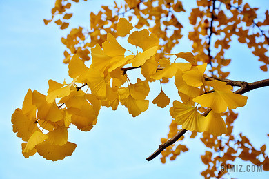 黃色唯美銀杏樹葉背景圖片