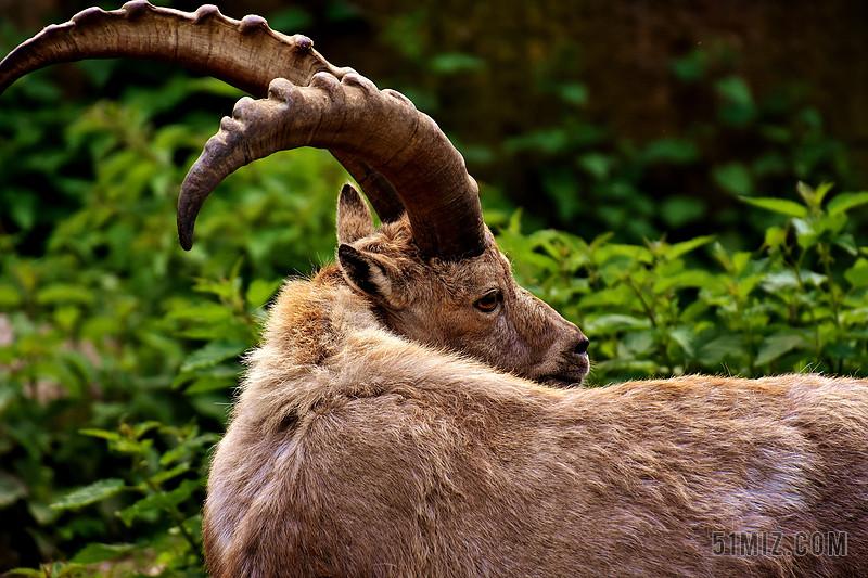 摩羯座 角 动物 动物世界 野生动物摄影 动物园 海拉布伦