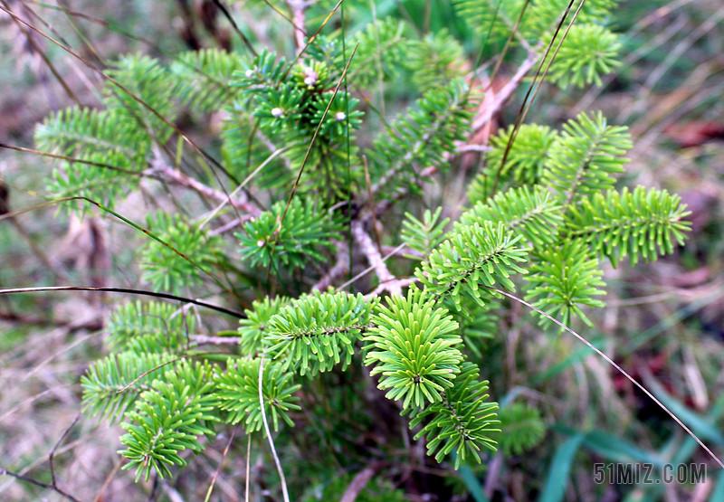 iglak 针叶的灌木 绿色 特写 植物 针叶树 树枝 刺图片