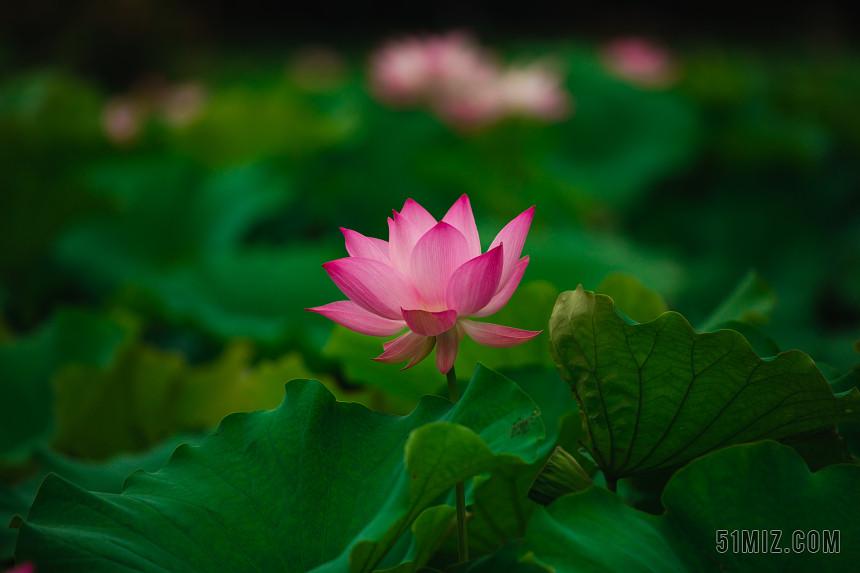 夏日夏季池塘唯美荷葉荷花蓮花