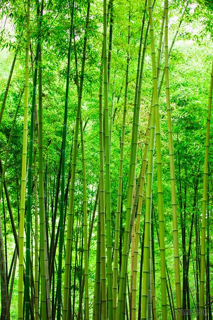 夏季綠色竹林竹海竹子