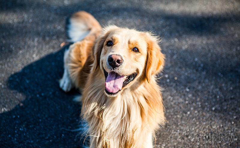 金毛寻回犬 狗 宠物 金毛 可爱 萌 动物肖像